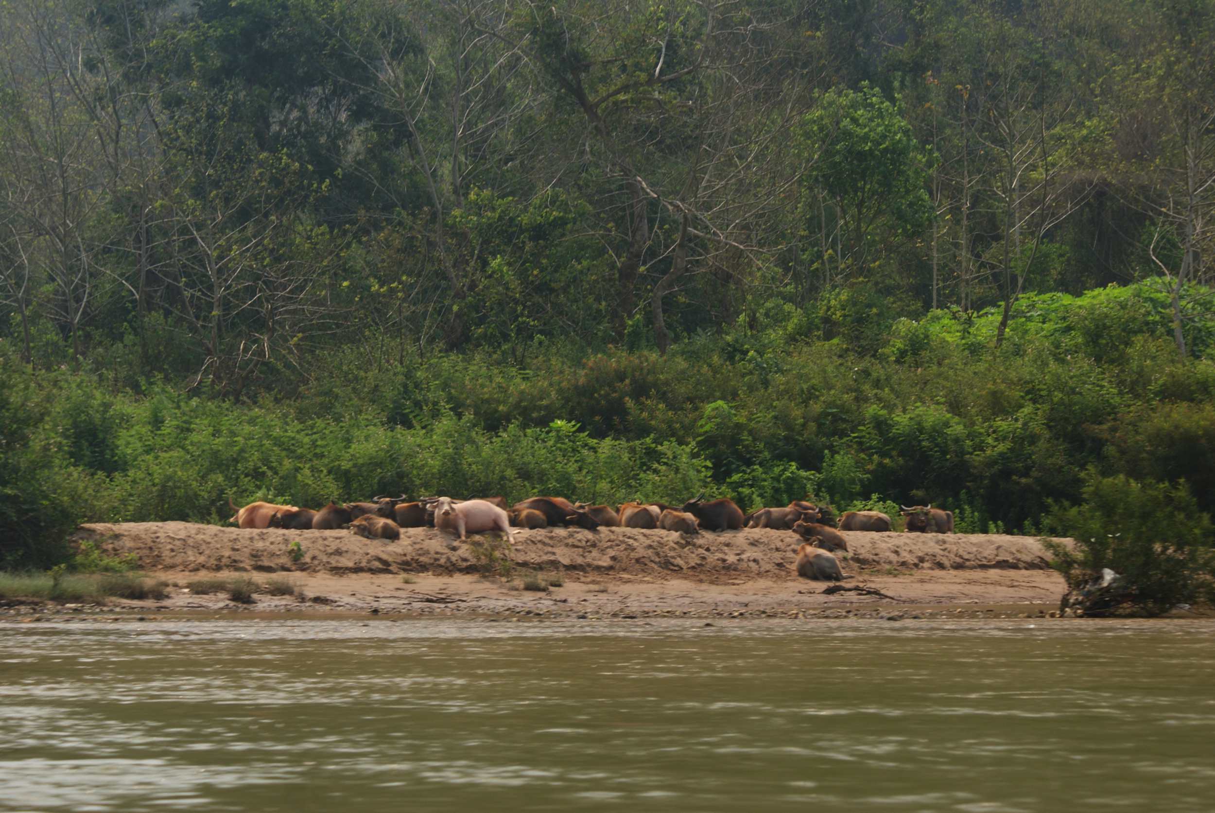 Water buffalo resting on the river bank