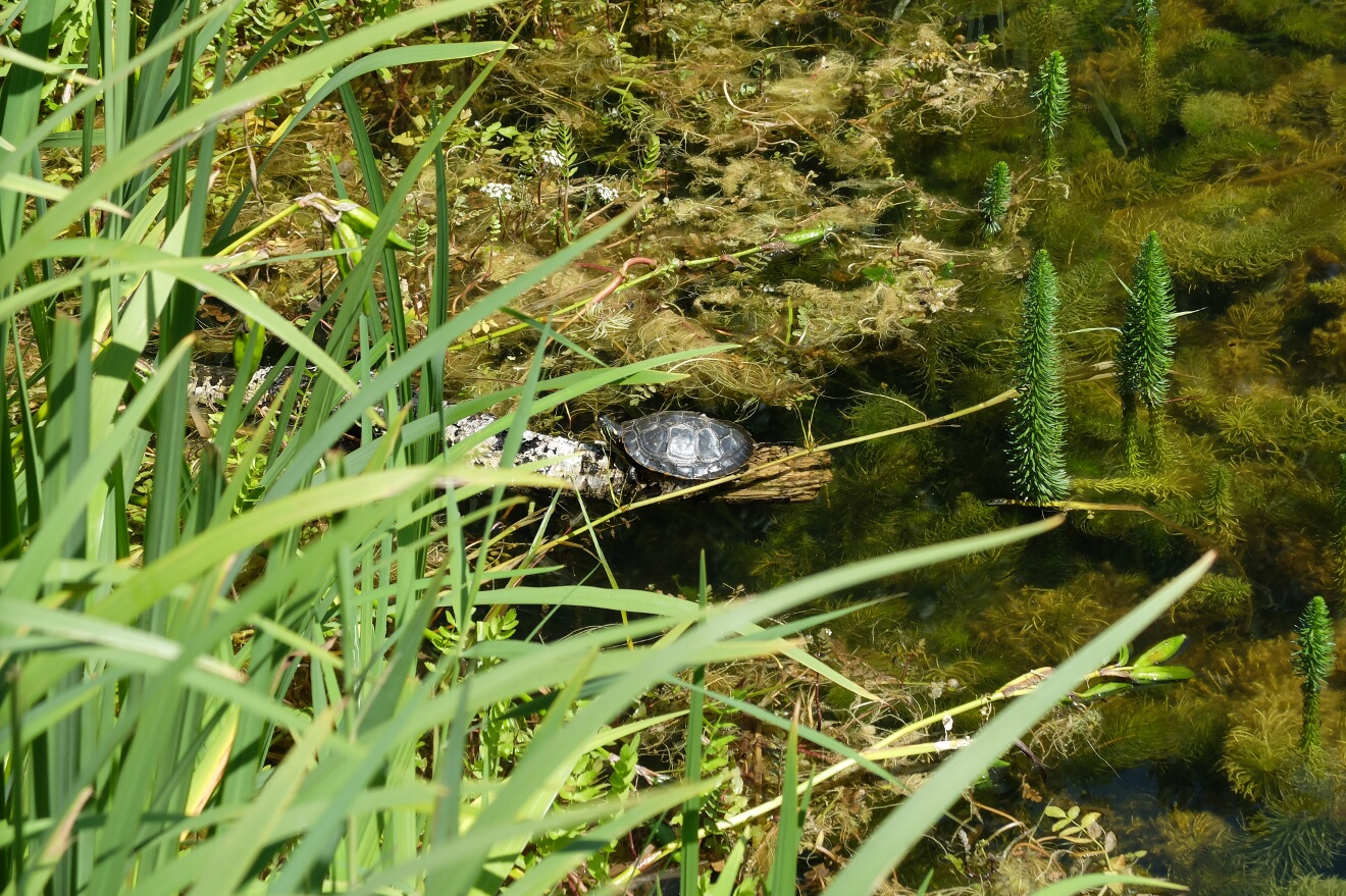 turtle in a pond