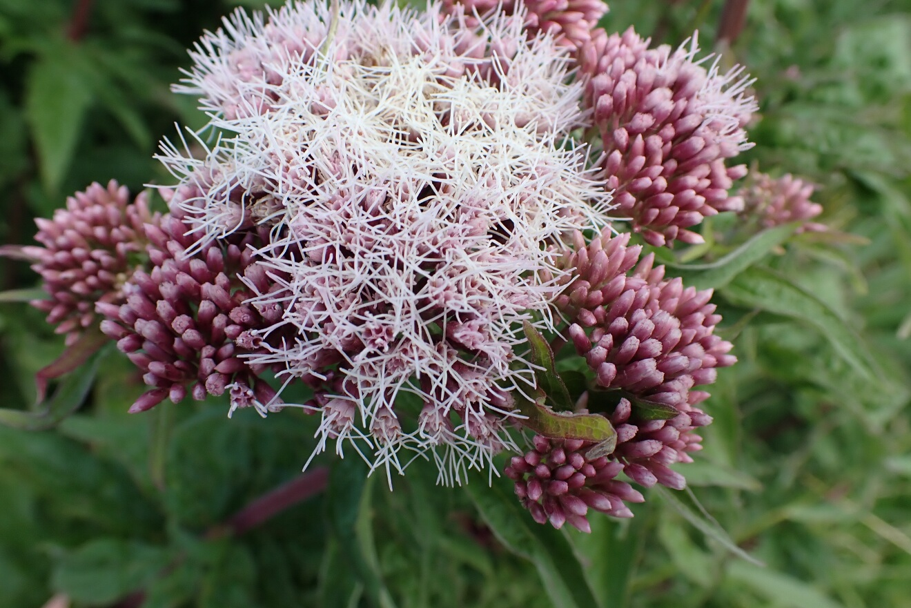 hemp-agrimony close up